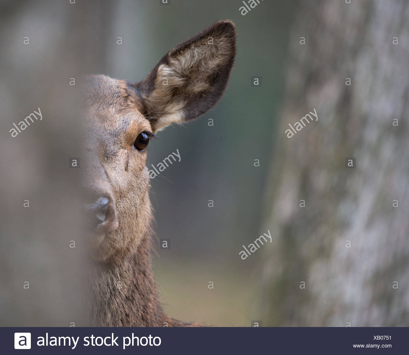 Red deer (Cervus elaphus),female,adult animal hides behind tree,Rhineland-Palatinate,Germany Stock Photo