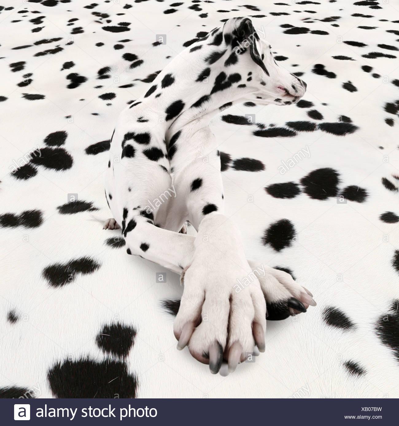 Dalmatian (Canis lupus f. familiaris), Dalmatiner lying on Dalmatiner carpet truning astonished - Stock Image