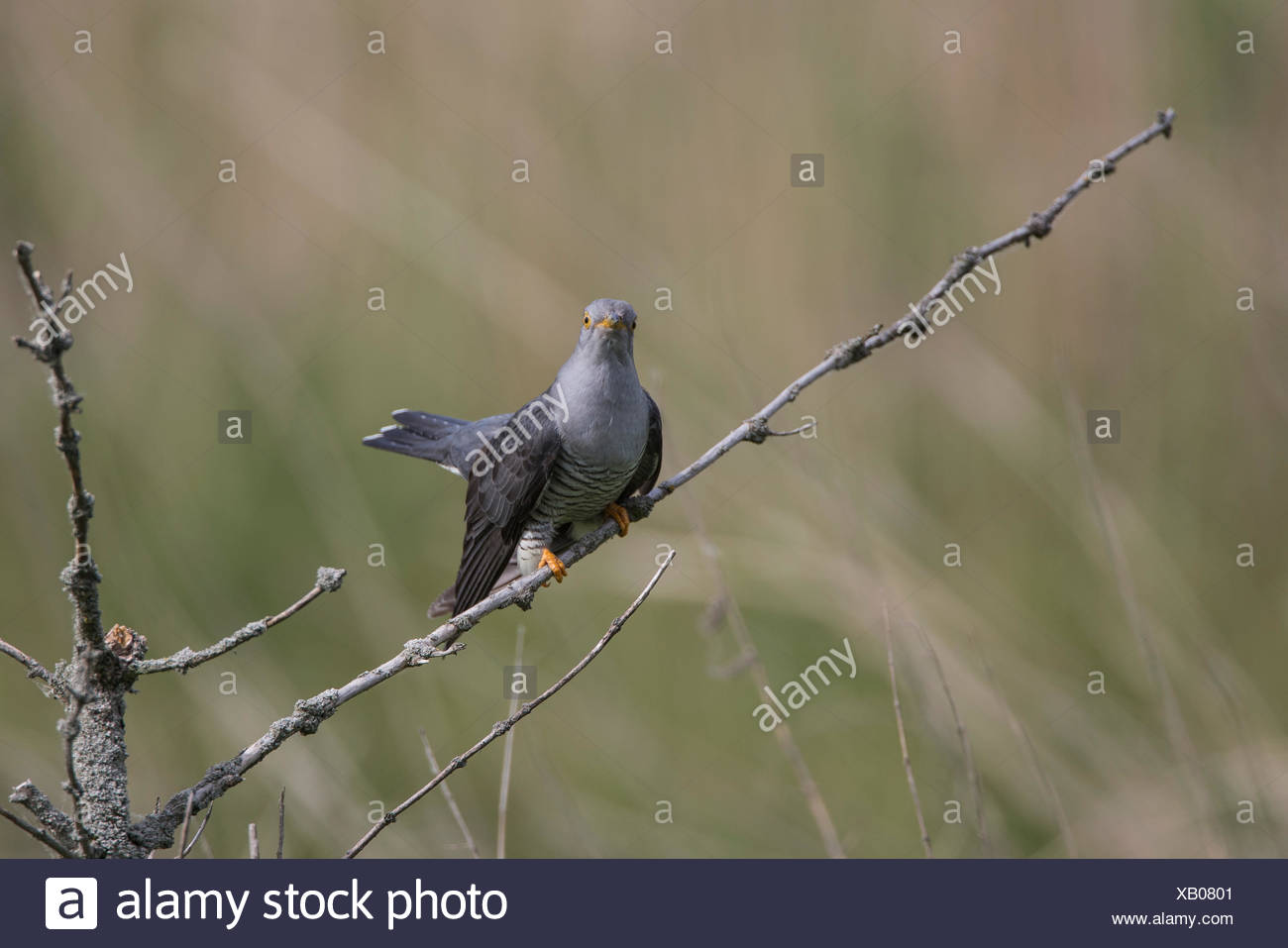 Common Cuckoo, Lower Saxony, Germany, (Cuculus canorus) - Stock Image