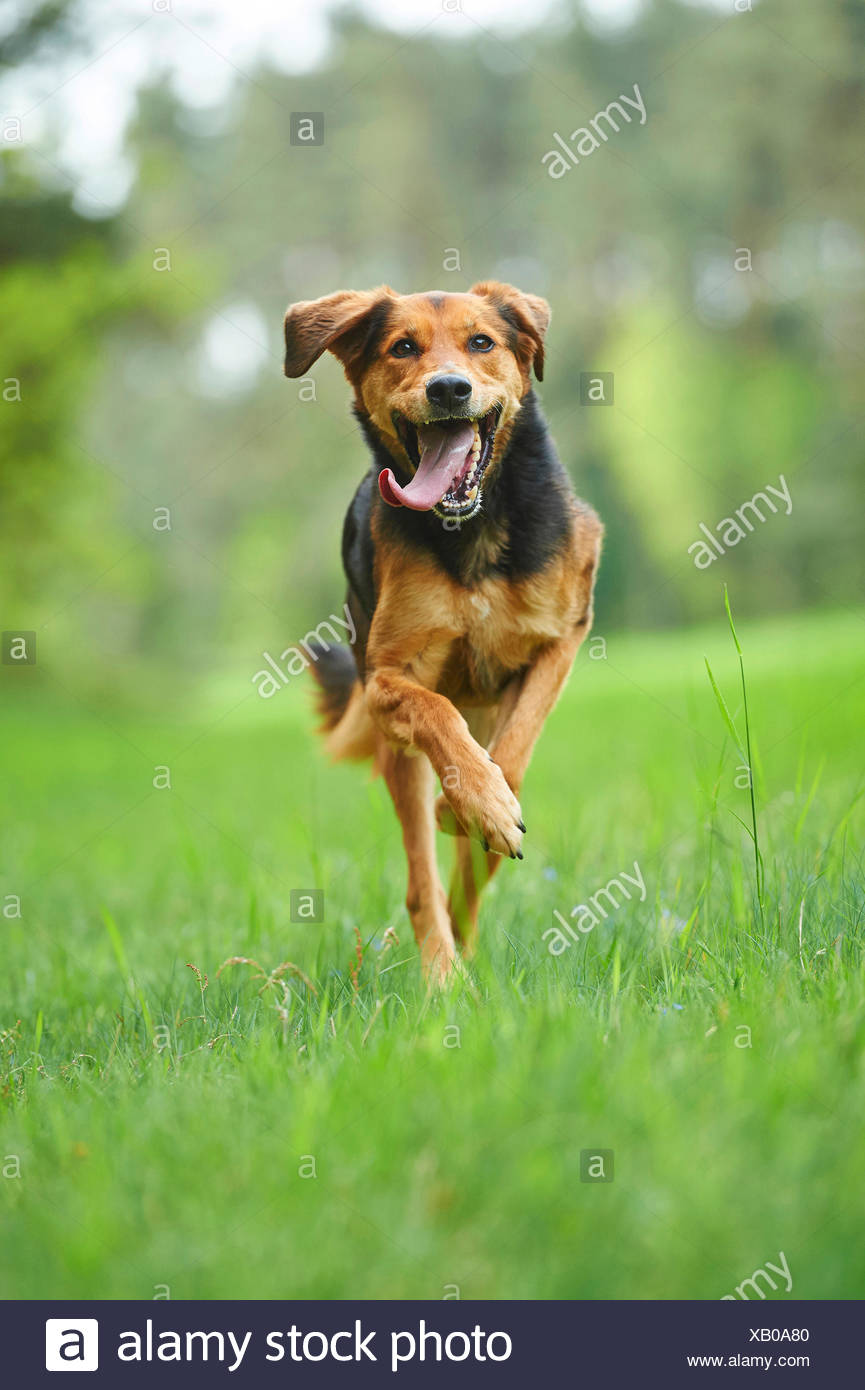 mixed breed dog (Canis lupus f. familiaris), mixed breed dog with tongue hanging out running in a meadow, Germany - Stock Image