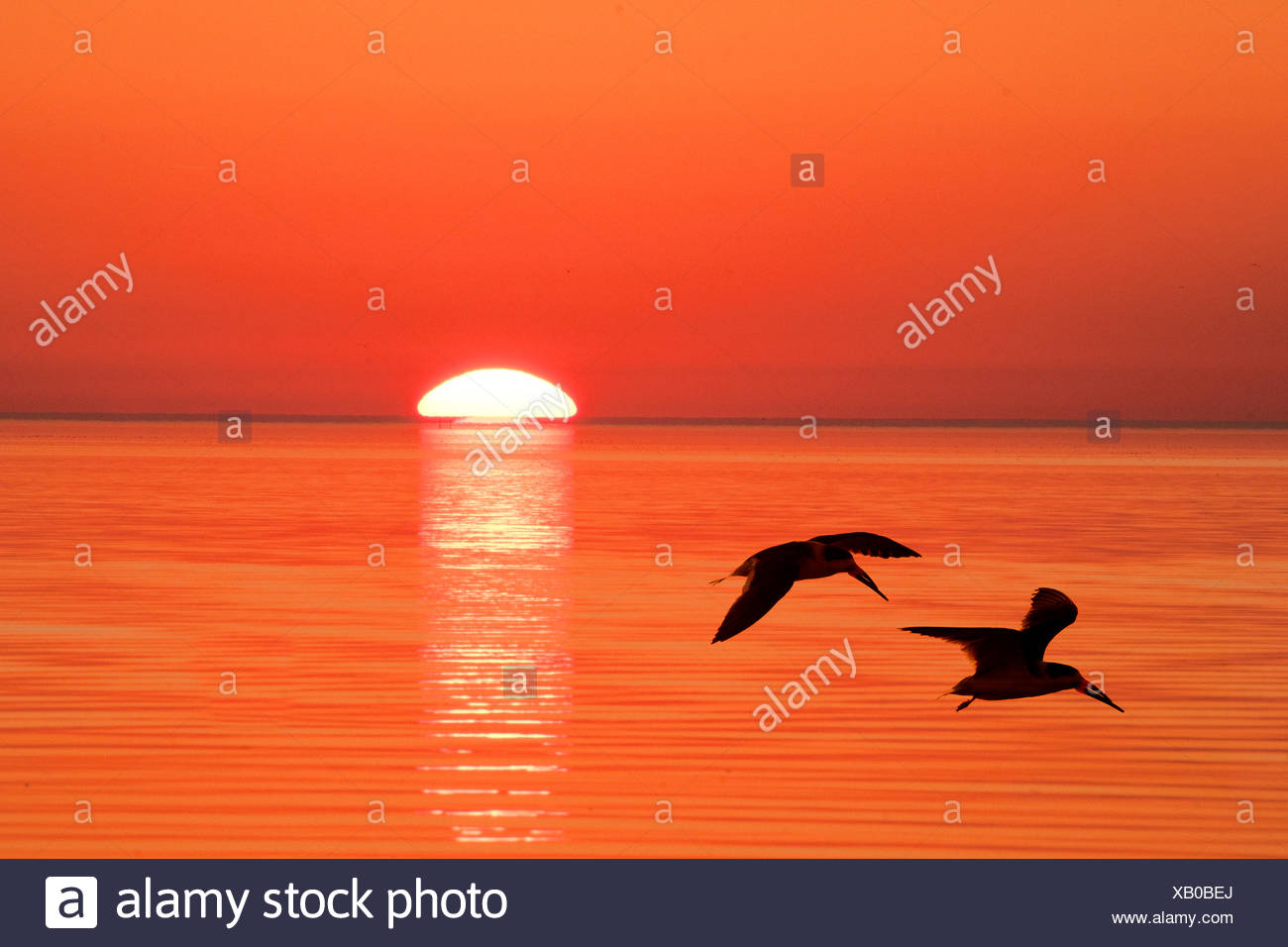 Black skimmers (Rynchops niger) flying to their nocturnal roost, coastal Florida - Stock Image