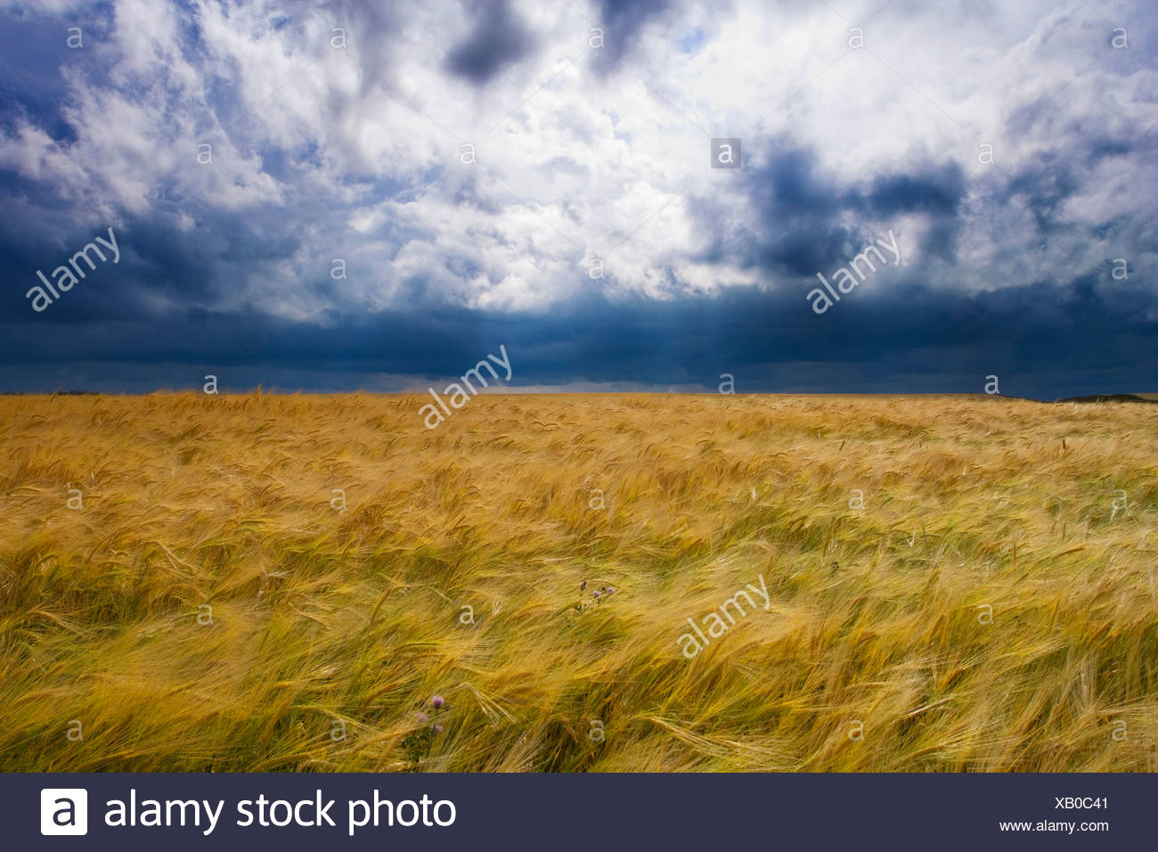 Thunder storm moving over grain field, Ridge Road 221, Alberta, Canada, cloud, weather, agriculture - Stock Image