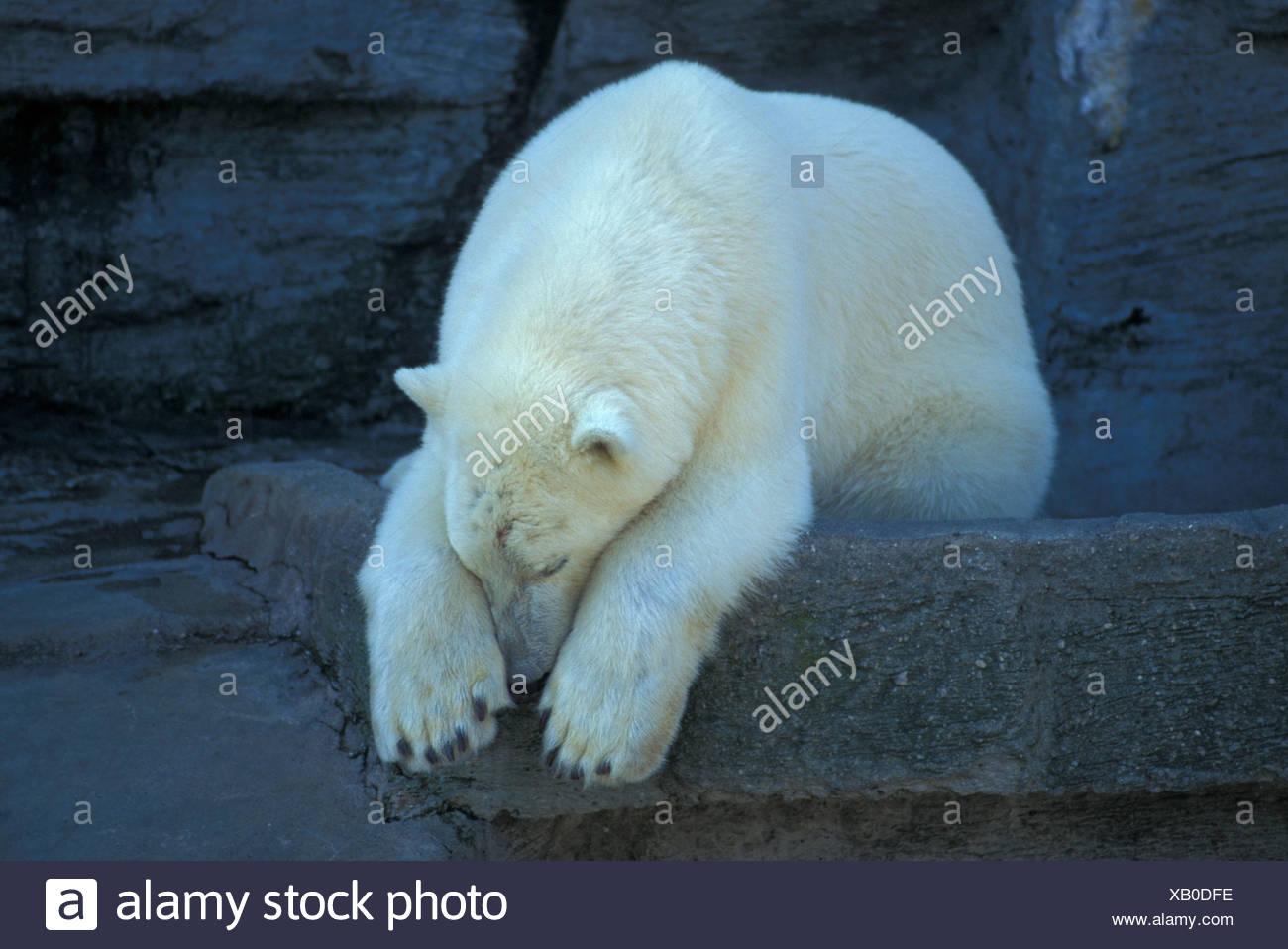 ice bear - Stock Image