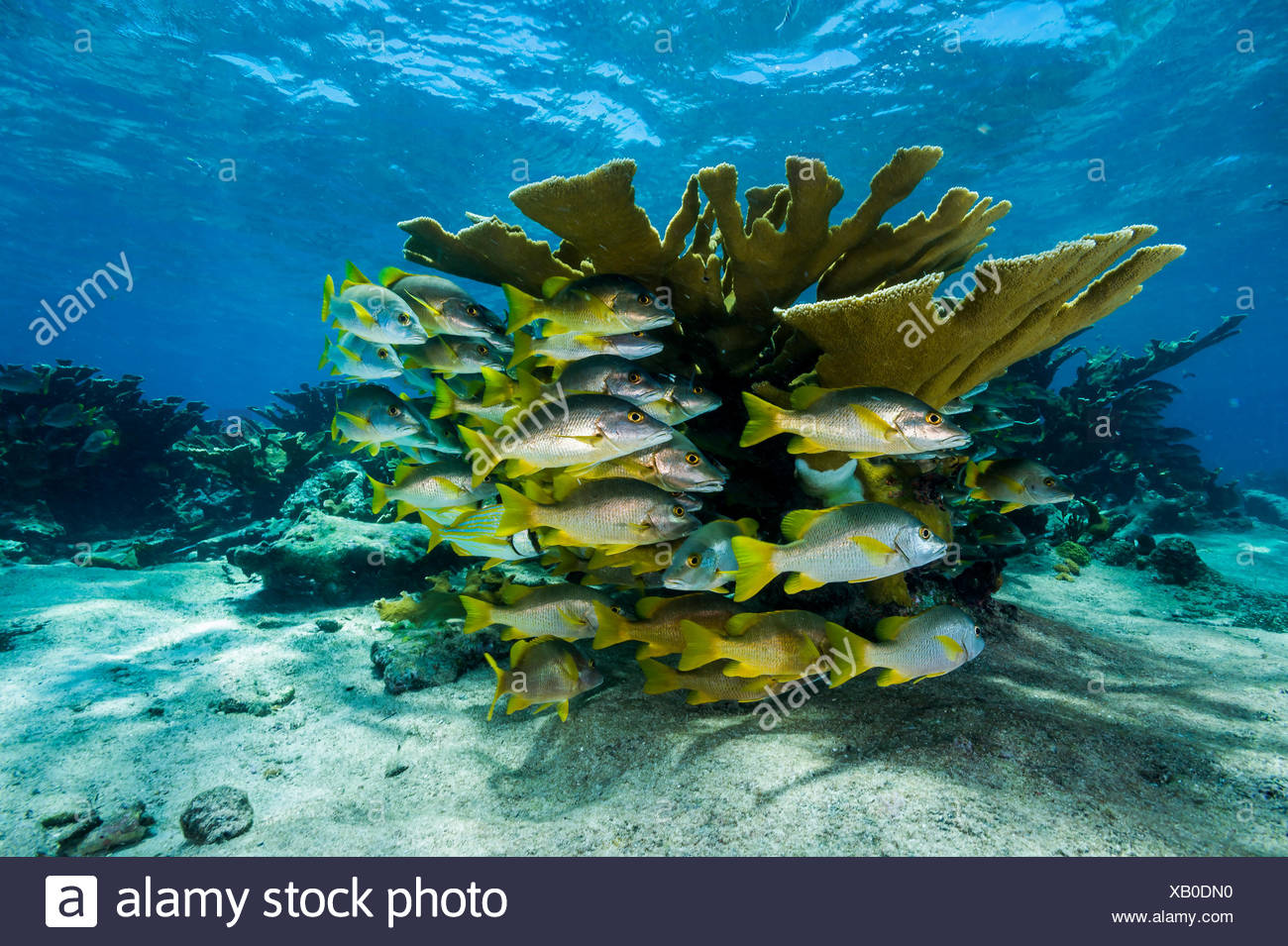 Schools of grunts and snappers swim between branches of endangered elkhorn coral, Acropora palmata. - Stock Image