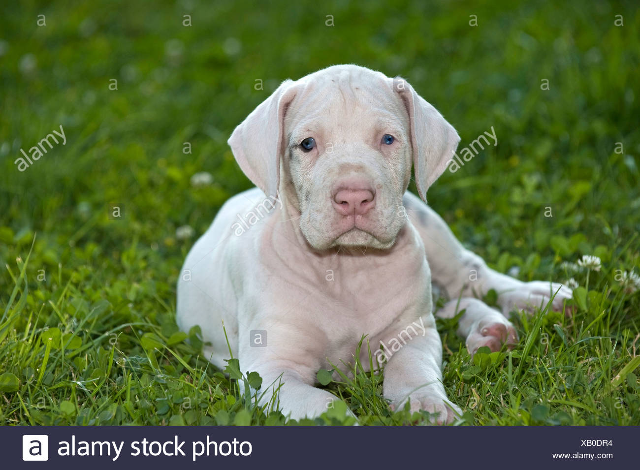 Great Dane White Puppy 6 Weeks Old Lying On A Meadow Stock Photo Alamy