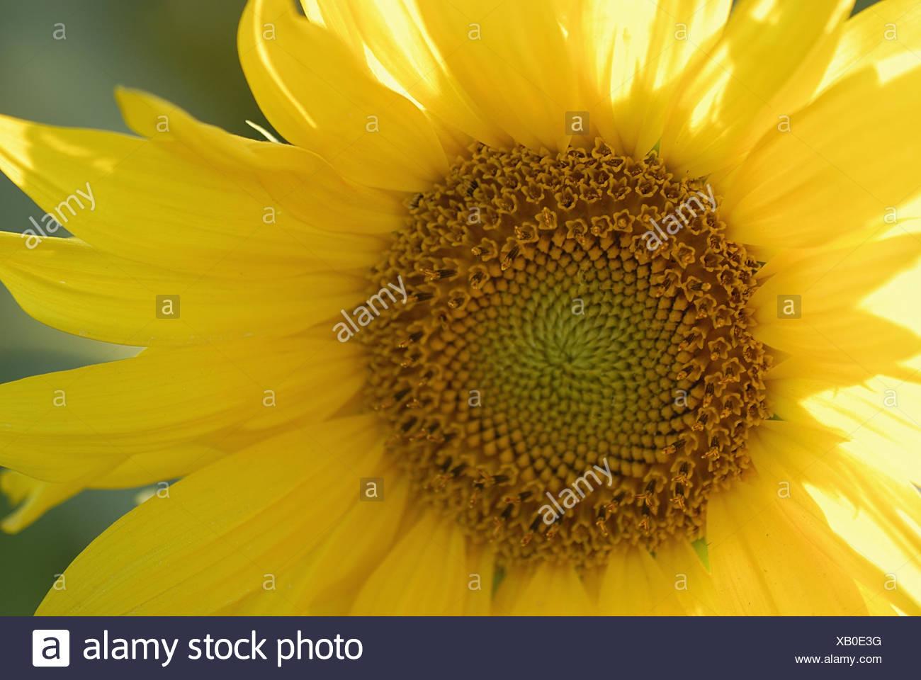 sunflower 1- sonnenblume 1 - Stock Image