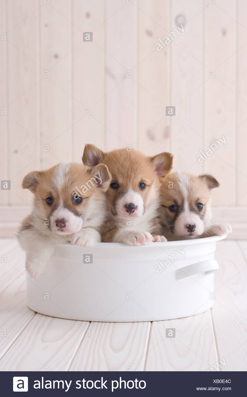 Three pembroke welsh corgi in a container - Stock Image
