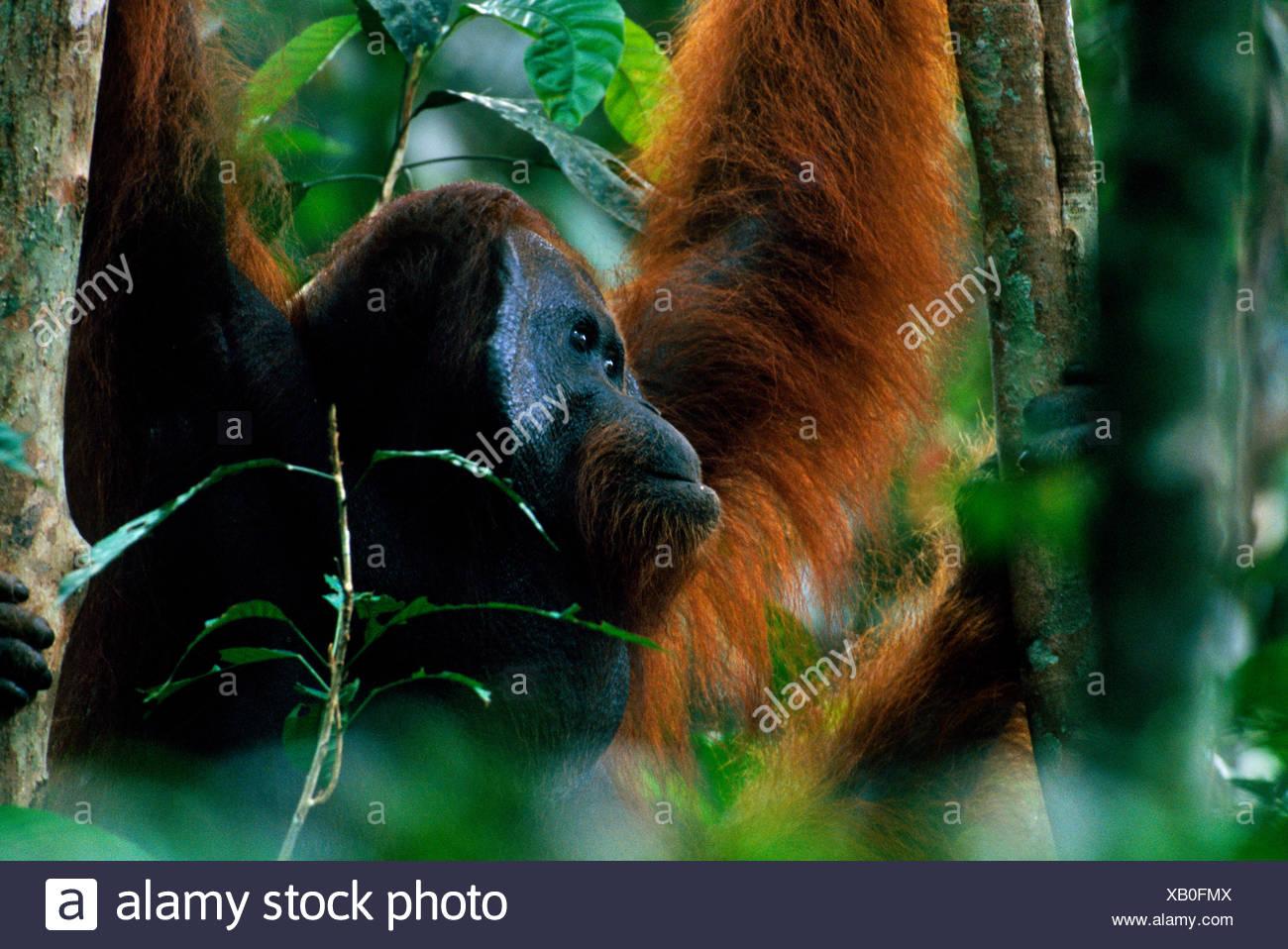 Adult male Bornean orangutan (Pongo pygmaeus) in rainforest canopy, Gunung Palung National Park, Borneo, West Kalimantan, Indonesia - Stock Image