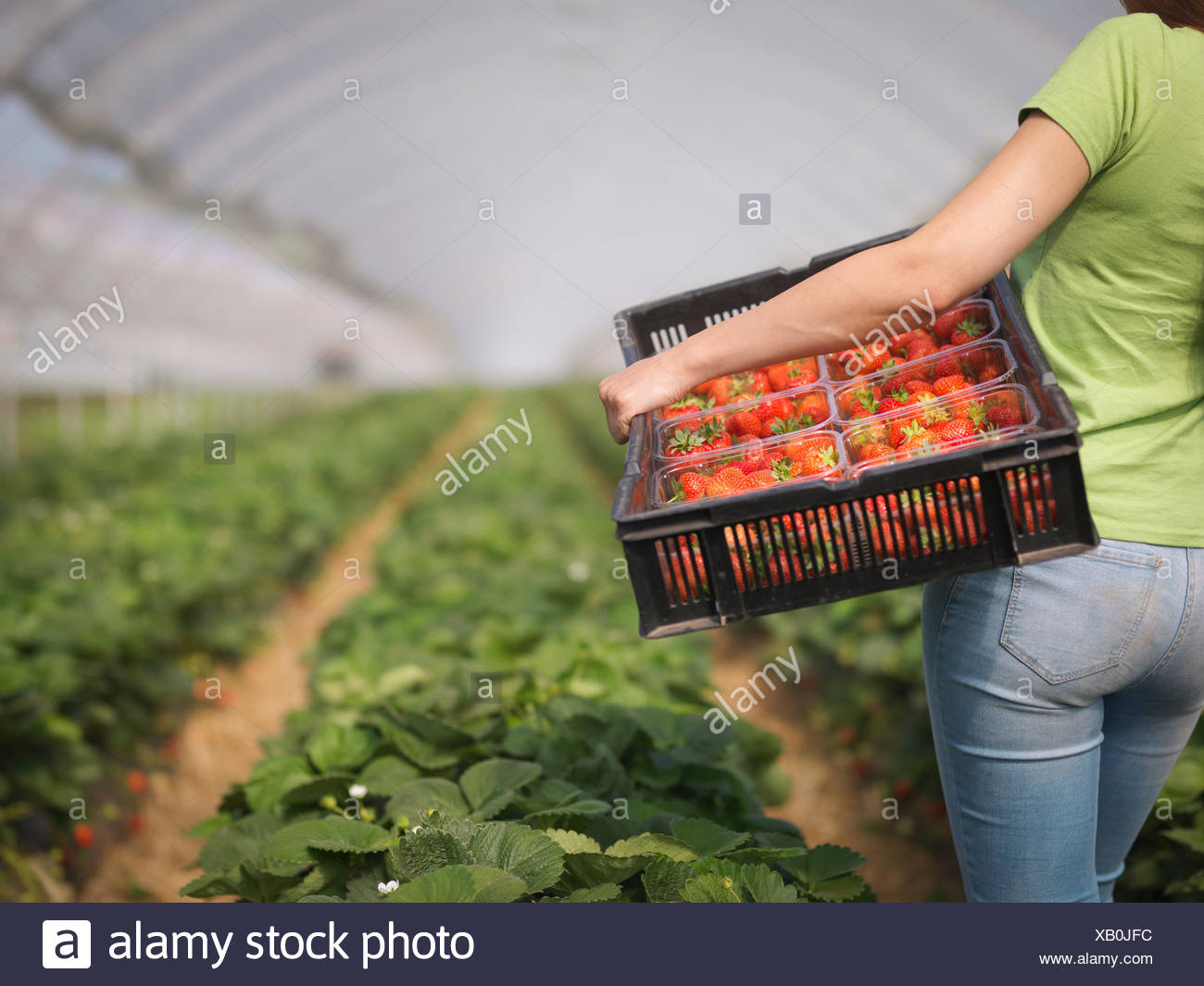 Worker carrying tray of punnets filled with strawberries in polytunnel of fruit farm - Stock Image