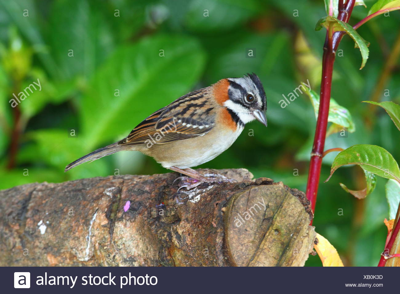 A rufous-collared sparrow, Zonotrichia capensis, foraging on a log. Stock Photo