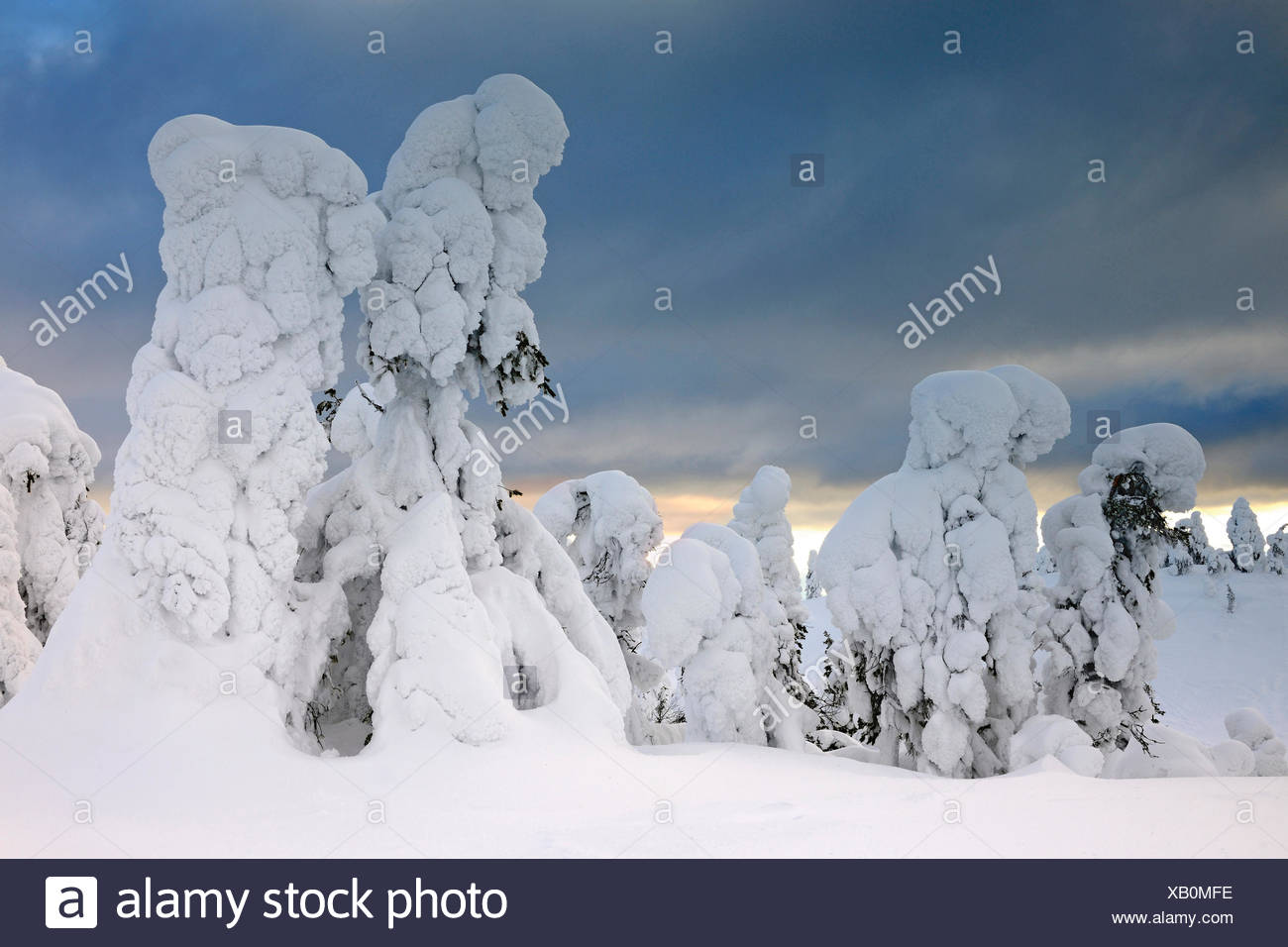 snow covered spruces at a winter storm in Rukatunturi, Finland, Kuusamo - Stock Image