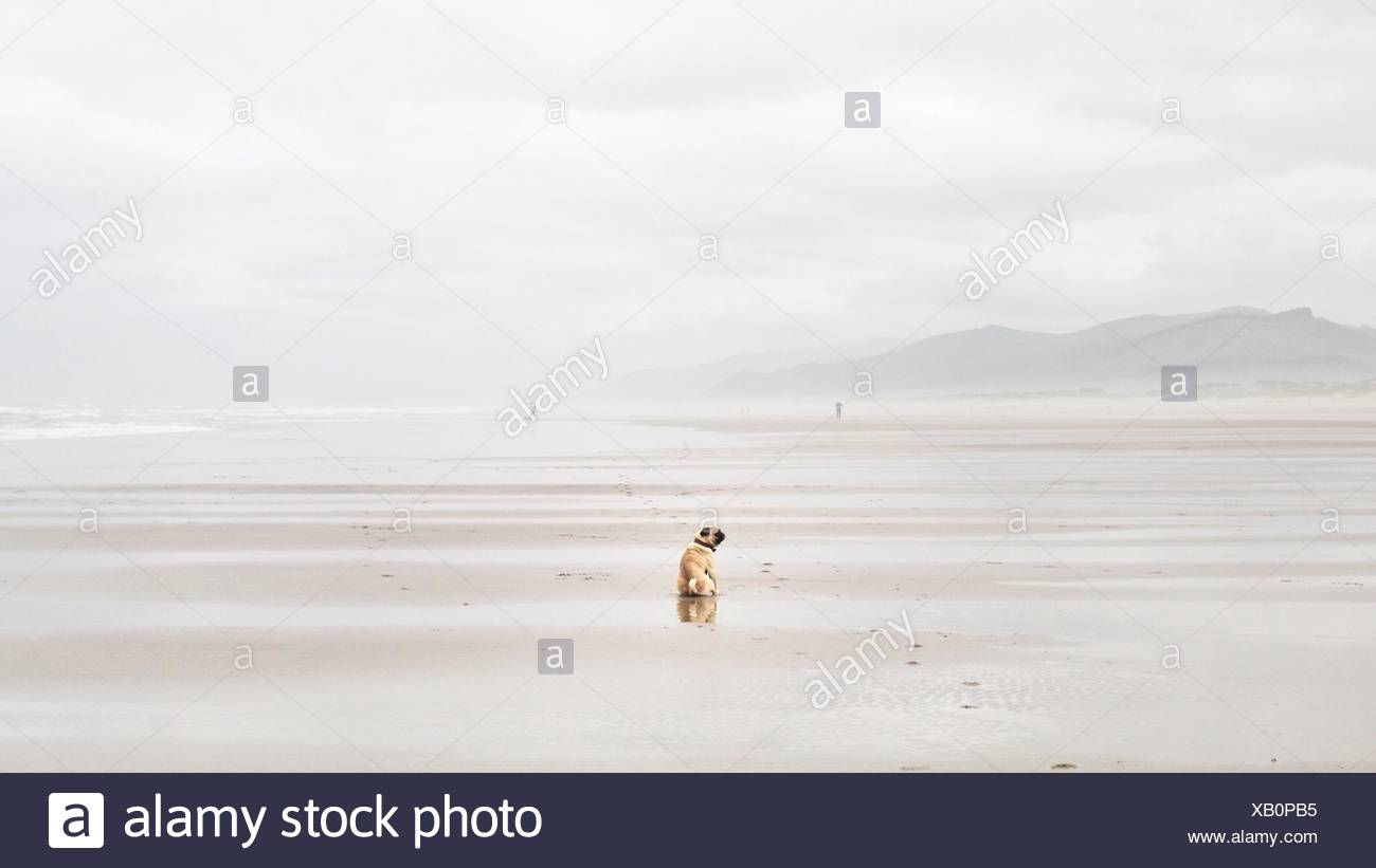 Rear view of pug dog sitting on beach - Stock Image