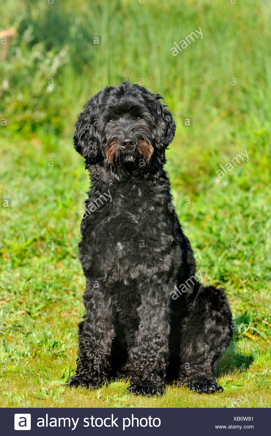 Portuguese Water Dog (Canis lupus f. familiaris), sitting in a meadow, Germany - Stock Image