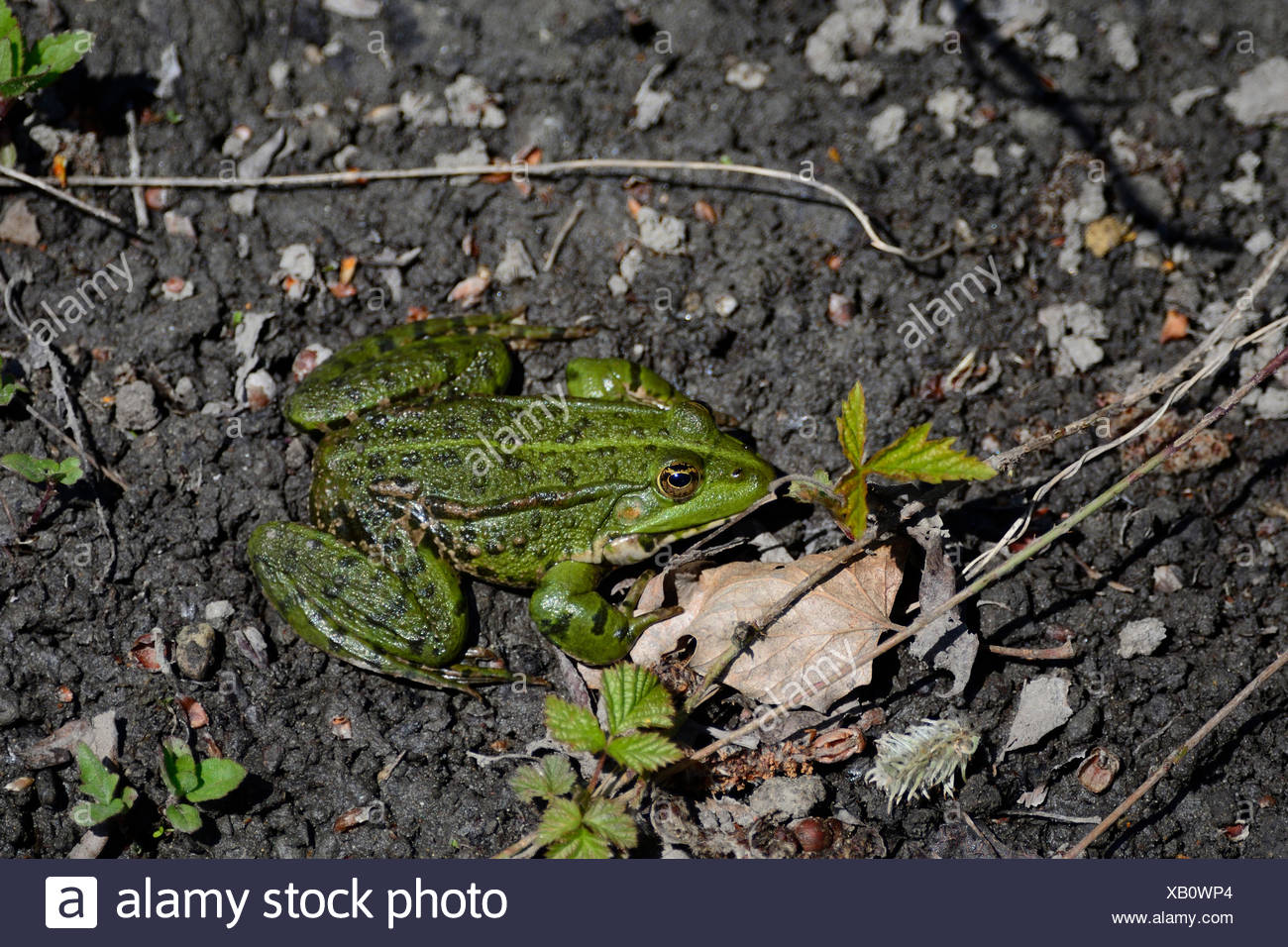 Edible frog, Rana esculenta, Ranidae, frog, amphibious animal, animal, mating, Champ-Pittet, Grande Cariçaie, nature reserve, Yv - Stock Image