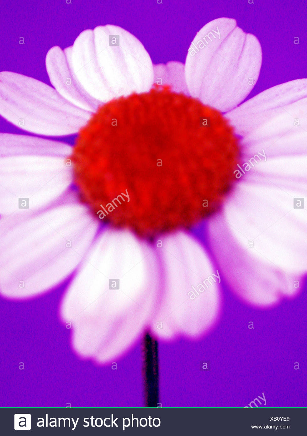 Colour enhanced singular daisy flower - Stock Image