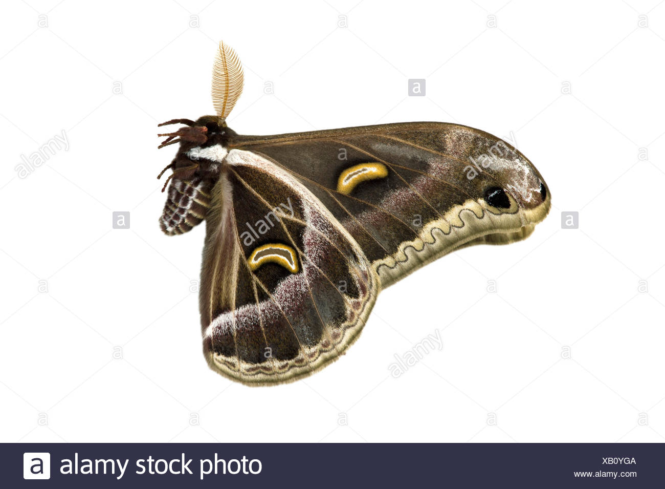 Peacock Moth (Epiphora rotunda), native to Ethiopia - Stock Image