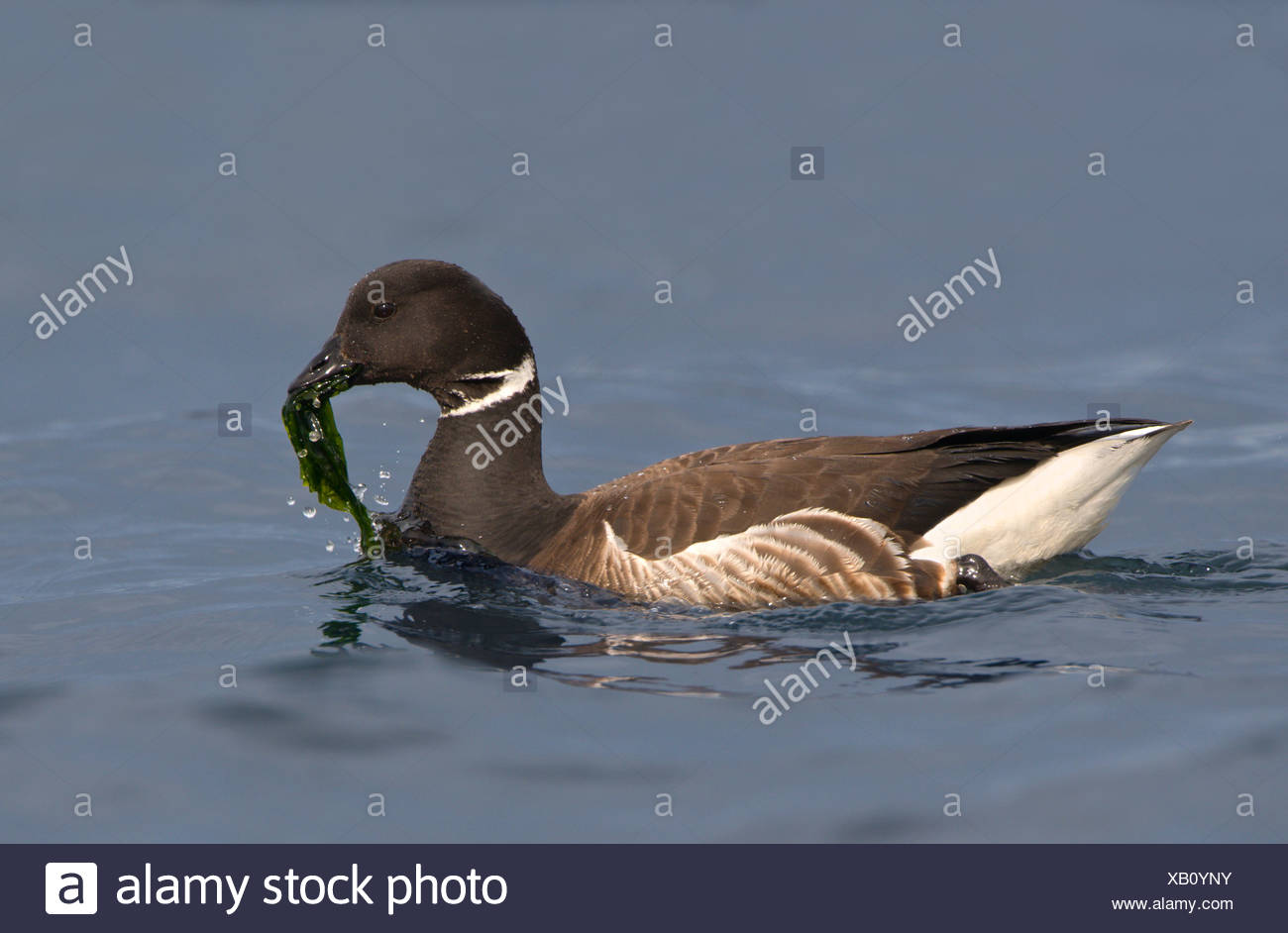 Brant goose (Branta bernicla) eating plant life at Island View Beach Regional Park, Saanich, British Columbia, Canada - Stock Image