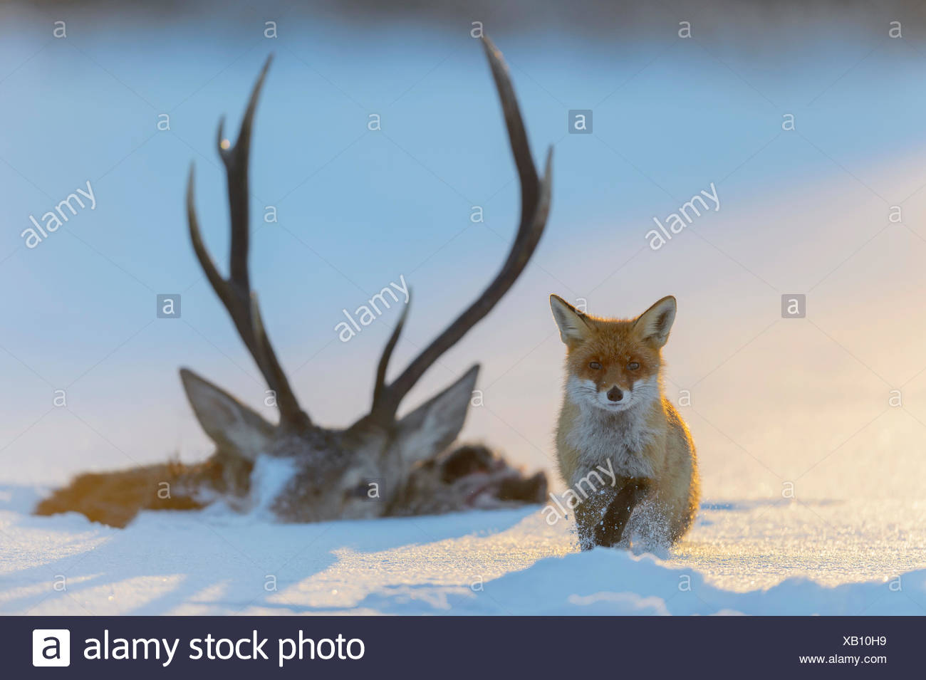 Red fox (Vulpes vulpes), by the carcass of a red deer that fell into the ice, frozen lake, Bohemian Forest, Czech Republic - Stock Image