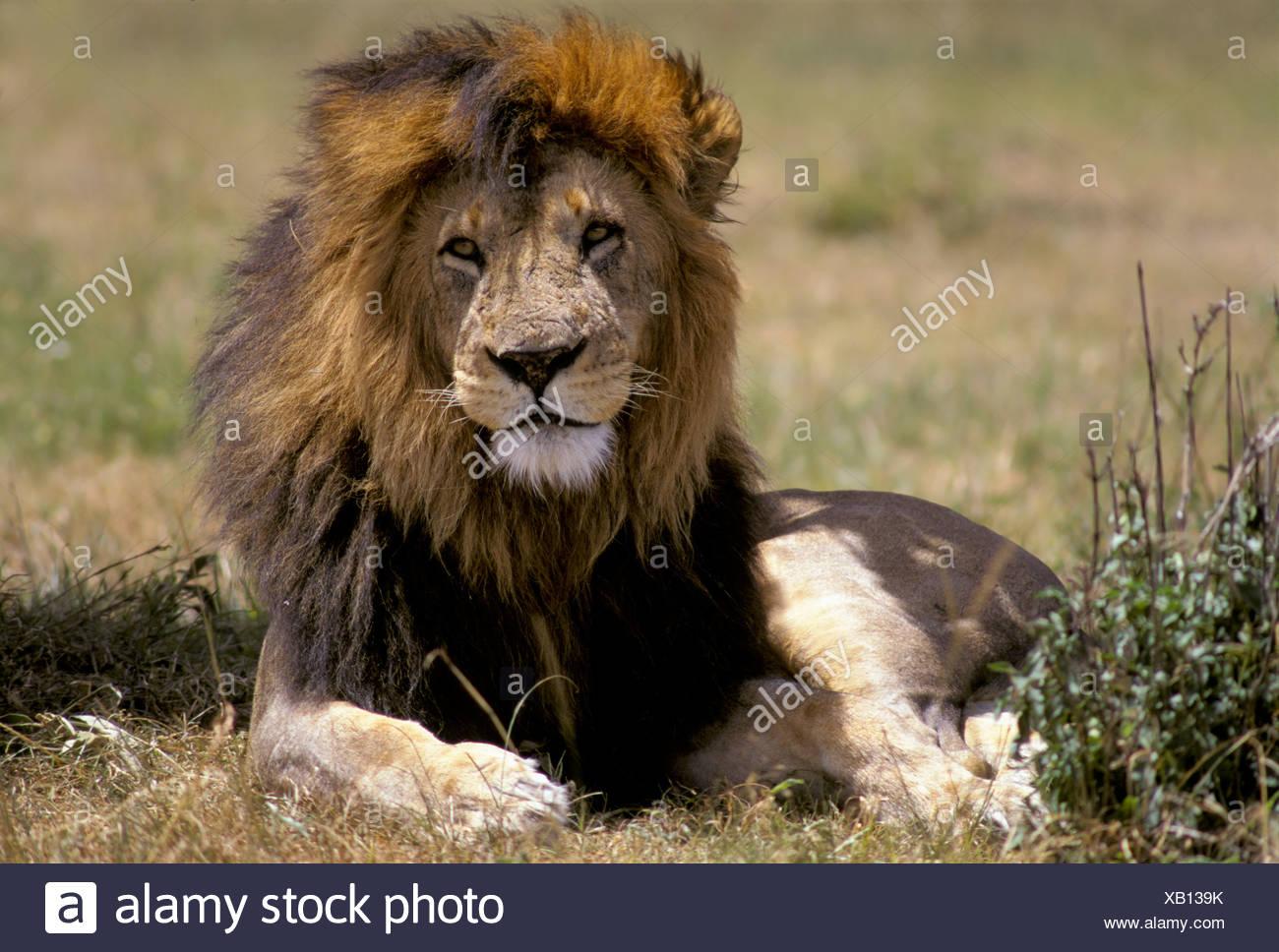 Male lion (Panthera leo), Masai Mara, Kenya, Africa Stock Photo