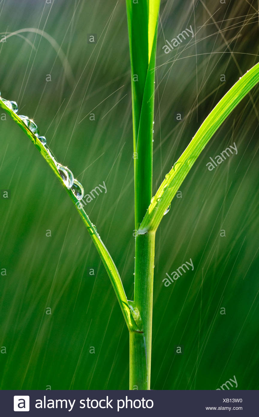 Agriculture - Structure of an early growth grain corn stalk in a Spring rainstorm / Iowa, USA. - Stock Image