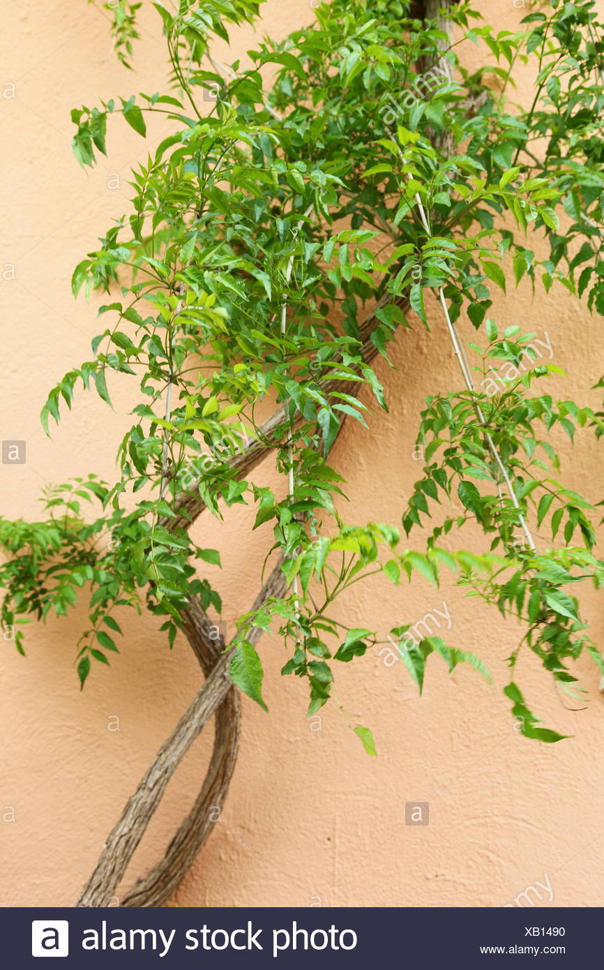 Green creeper on an exterior wall Stock Photo: 282152444 - Alamy
