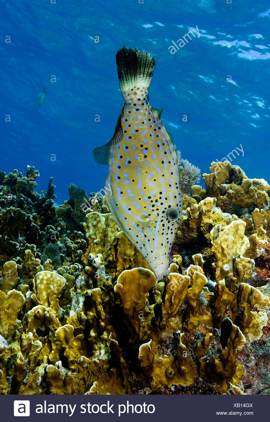 SCRAWLED FILEFISH ALUTERUS SCRIPTUS LOOKS FOR FOOD THE FISH FORAGES WITH ITS MOUTH AMID THE CORAL - Stock Image
