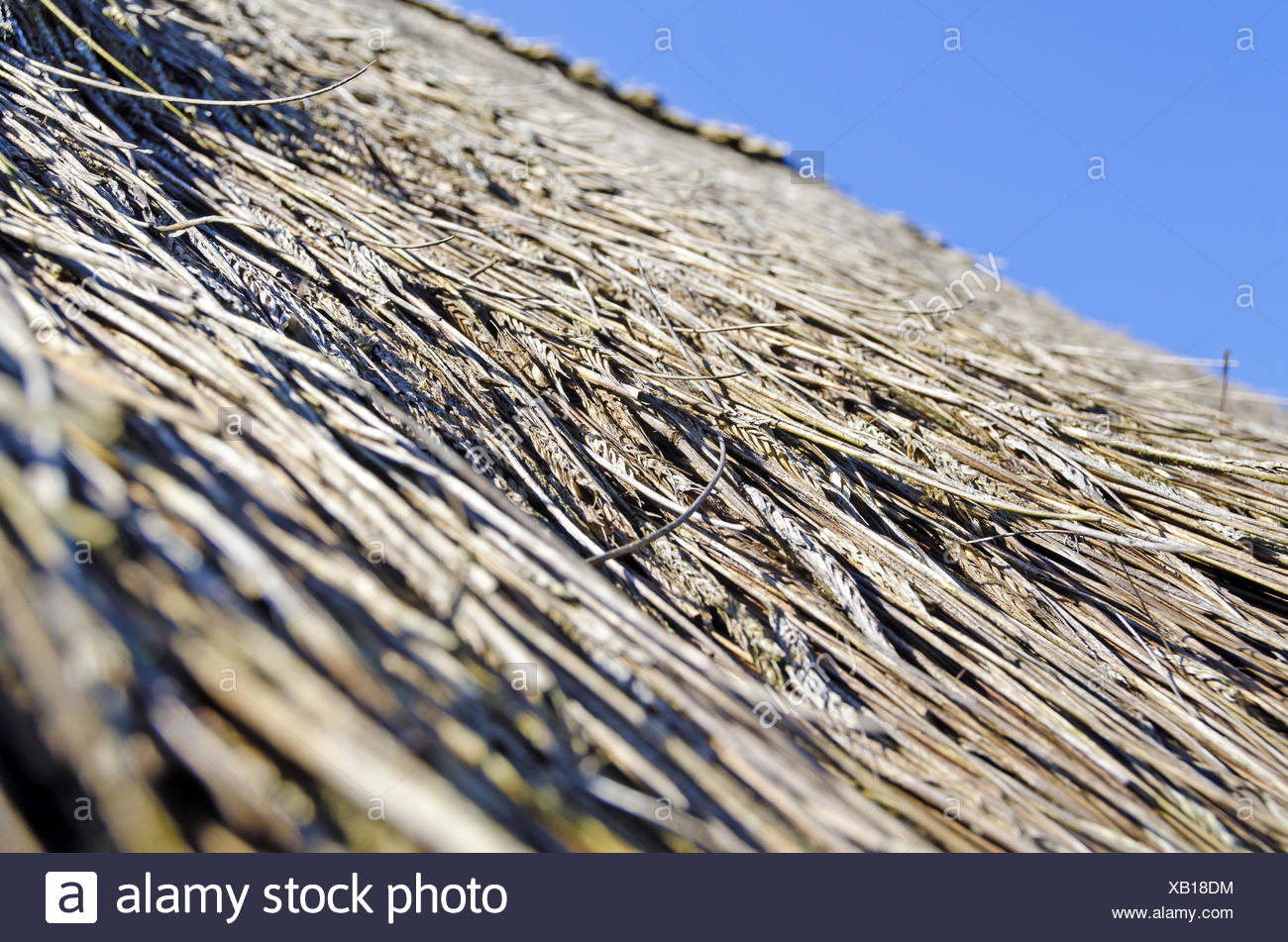 thatched roof with stray ears of corn - Stock Image