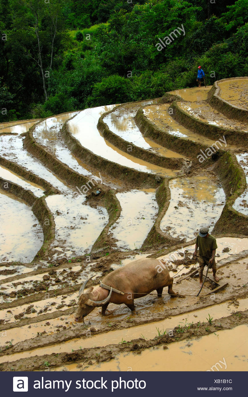 Mountain paddy, irrigated rice terraces, farmer tilling and plowing the field with a water buffalo - Stock Image