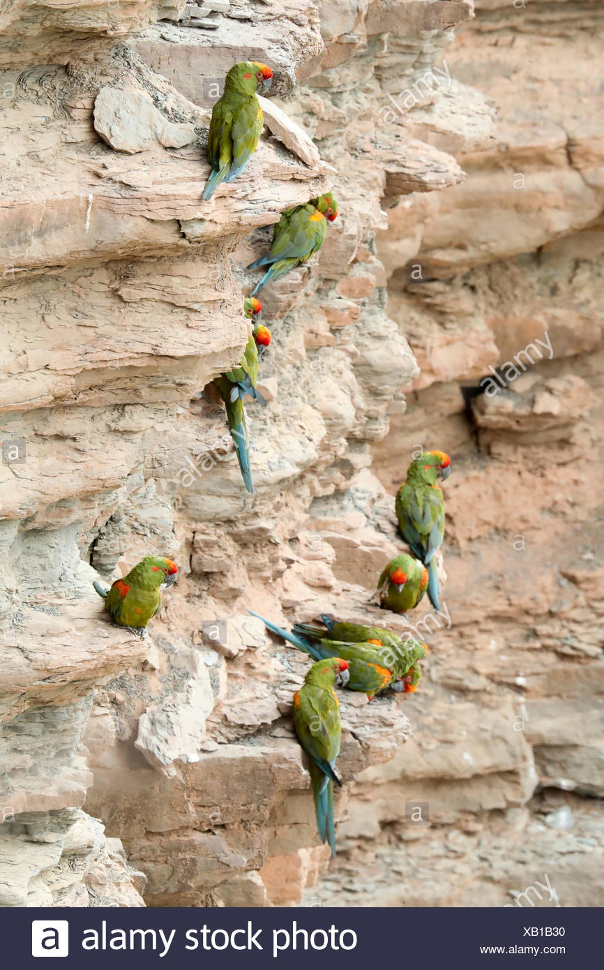 Globally endangered red-fronted Macaws, Ara rubrogenys, roosting on a cliff with nests. - Stock Image