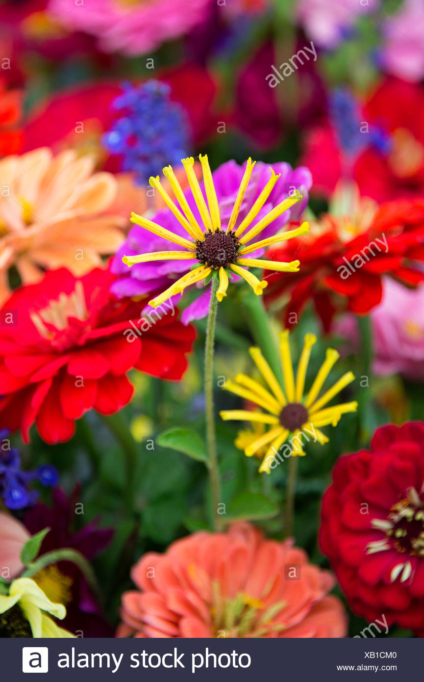 Fresh cut flowers at a farmers market. - Stock Image