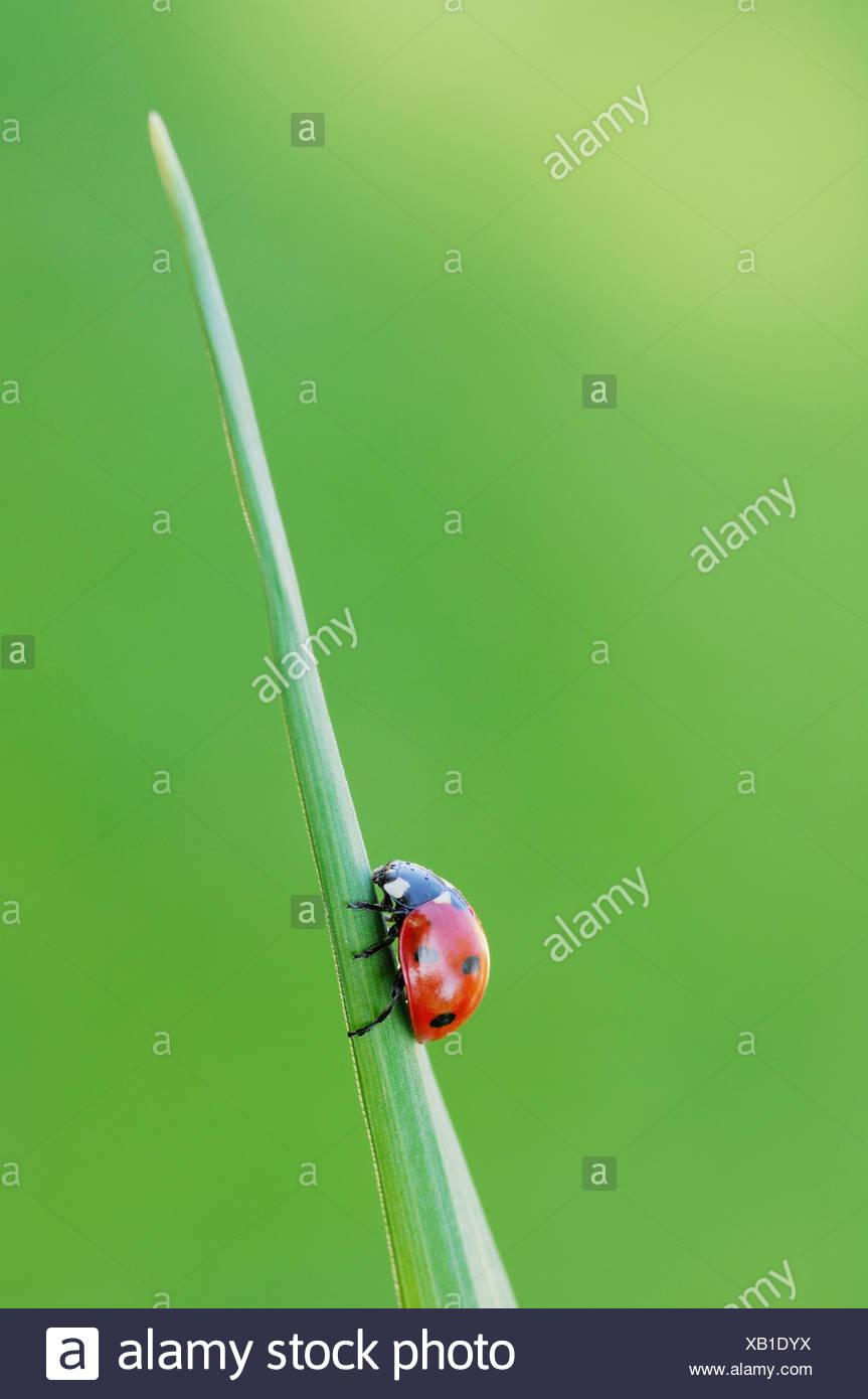 Germany, Bavaria, Seven-spot Ladybird (Coccinella septempunctata) on blade of grass, close up Stock Photo