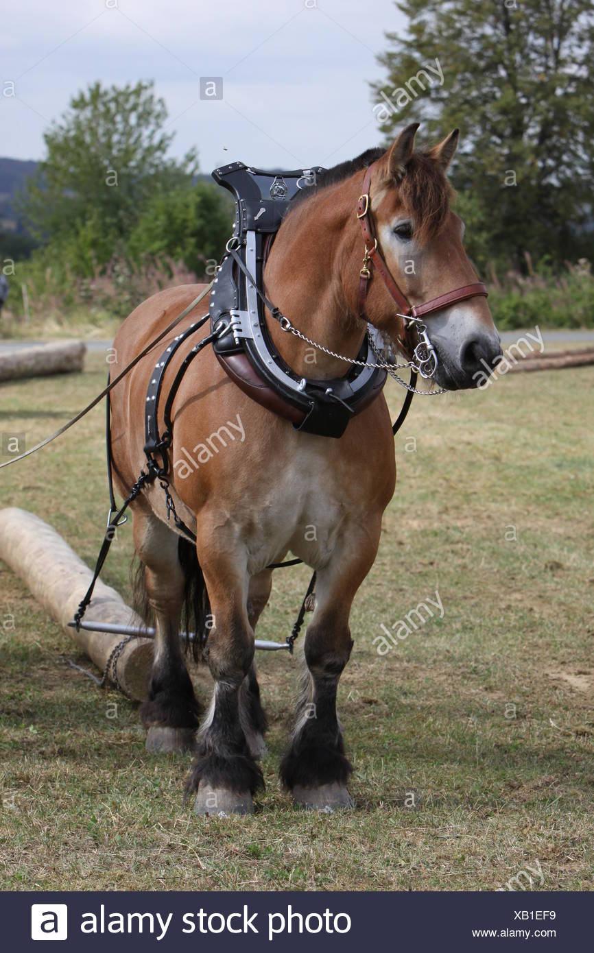 horse horses cold blooded animal rein horse animal brown brownish brunette strong trunk agriculture farming horses halter back - Stock Image