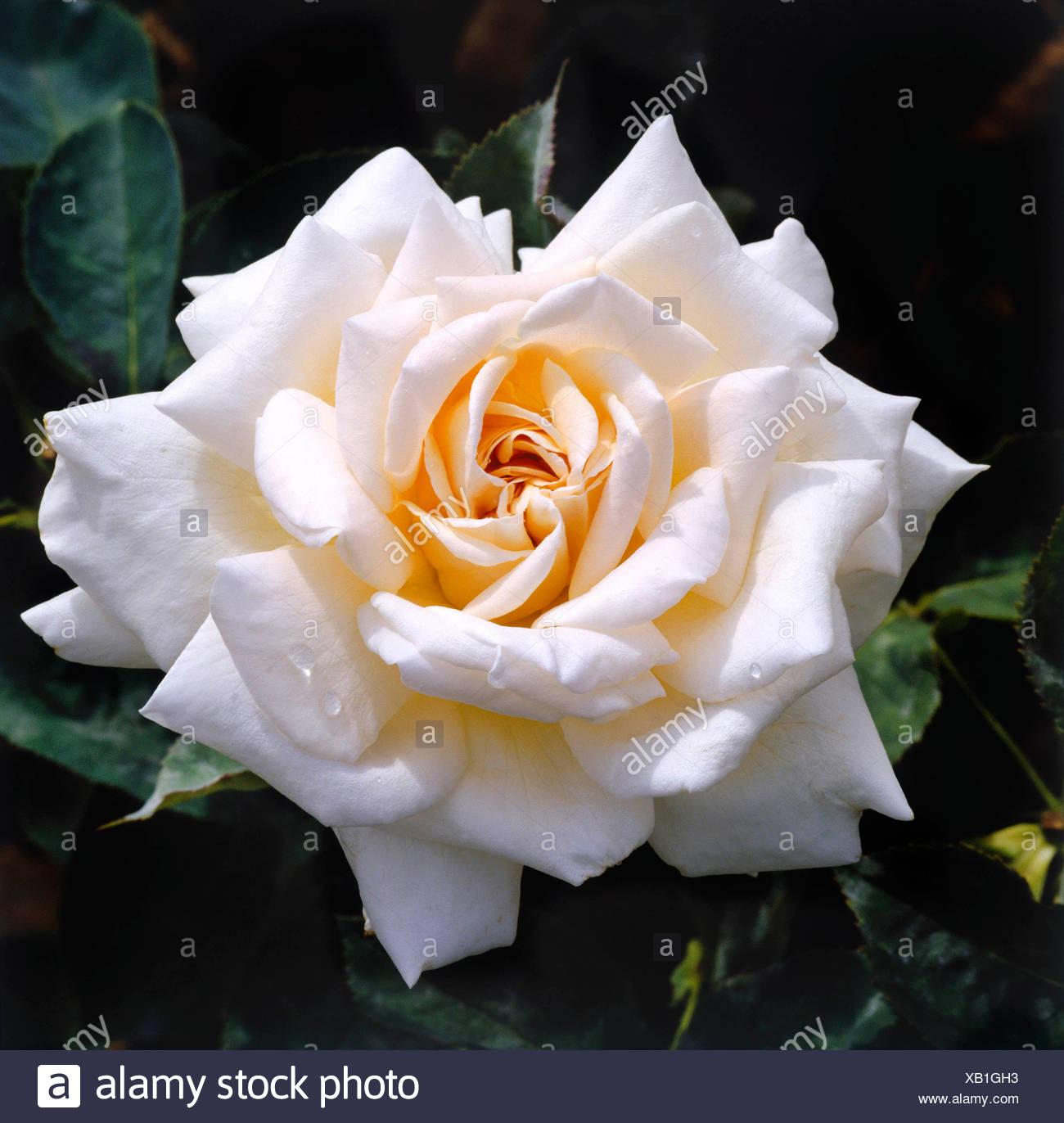 Rosa - `Jardins de Bagatelle' (Hybrid Tea)   RHT063435 Stock Photo