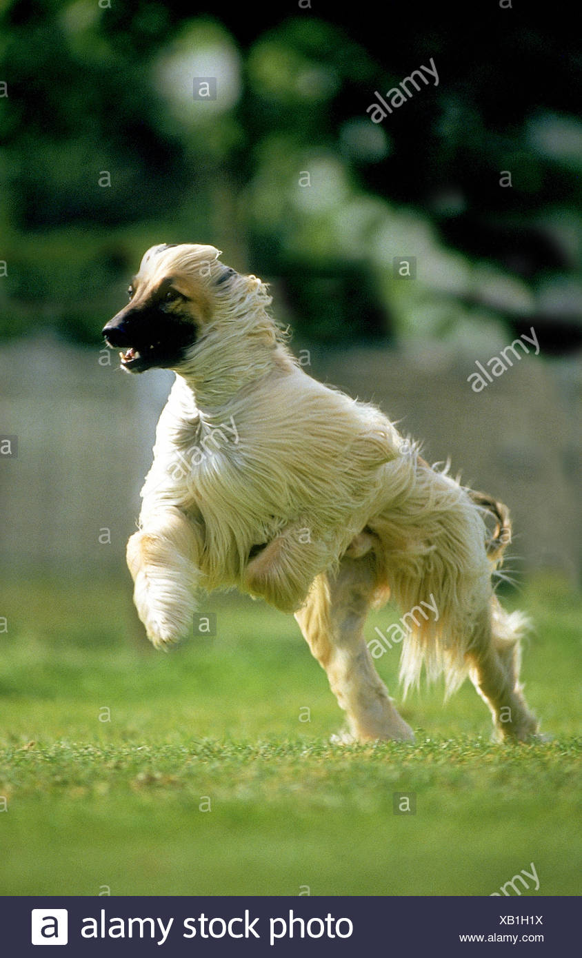 Afghan Hound, Adult running Stock Photo