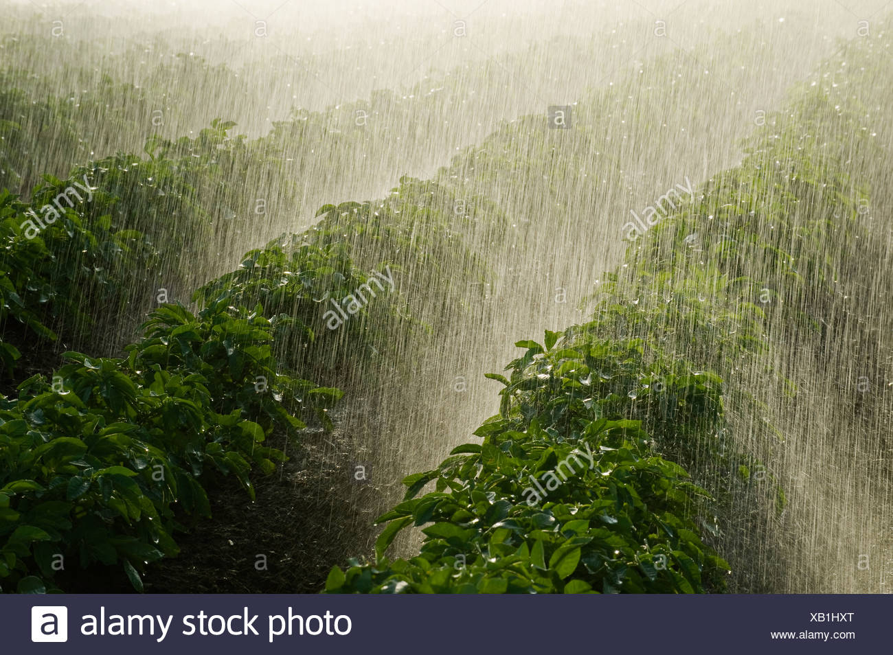 Agriculture - A mid growth potato crop being irrigated by a center pivot system / Tiger Hills, Manitoba, Canada. - Stock Image
