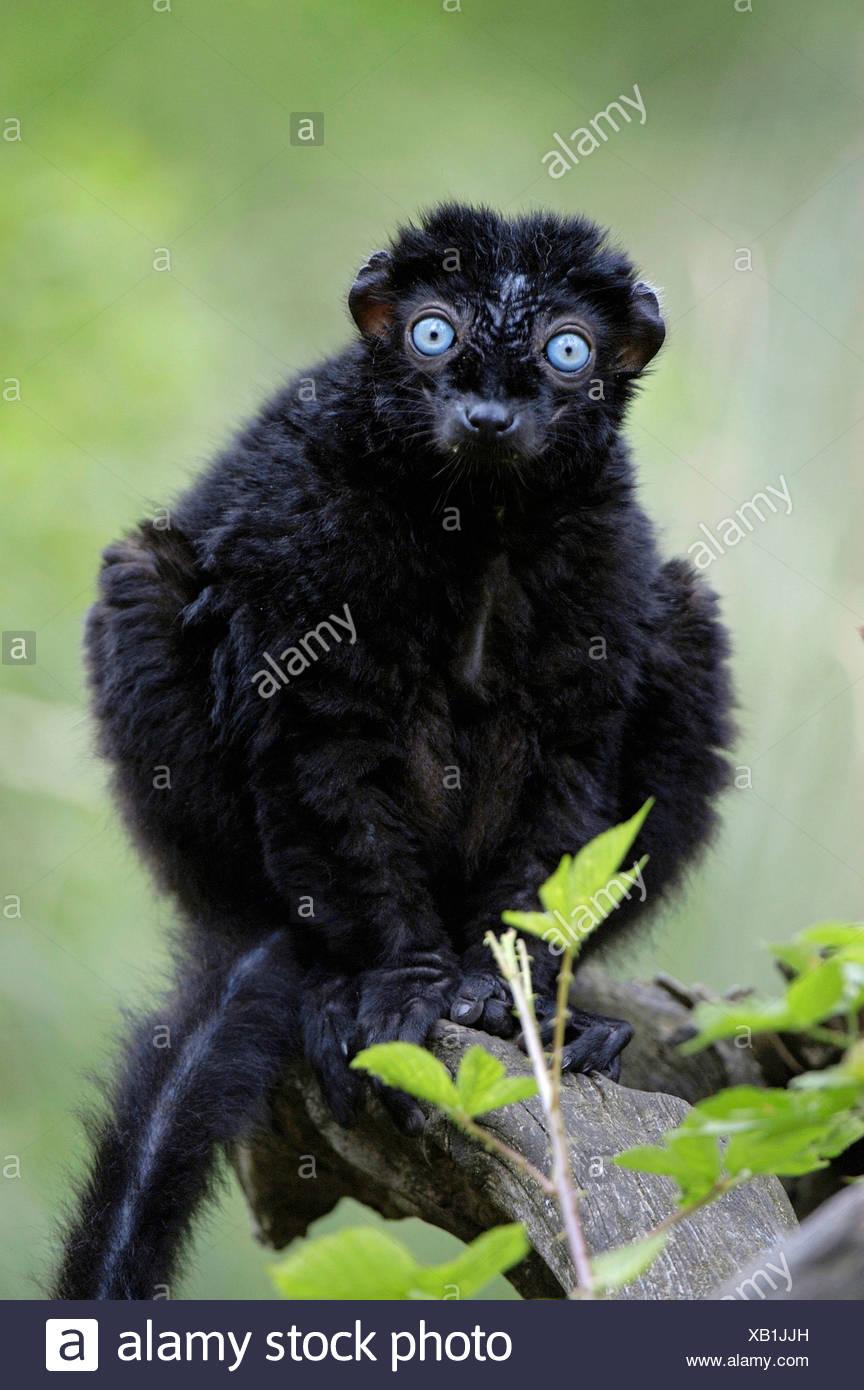 Blue-eyed Lemur Stock Photo