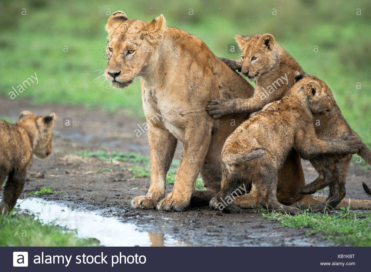 Female African Lion with 4 month old cubs, Big Marsh, Ndutu, Serengeti, Tanzania Stock Photo