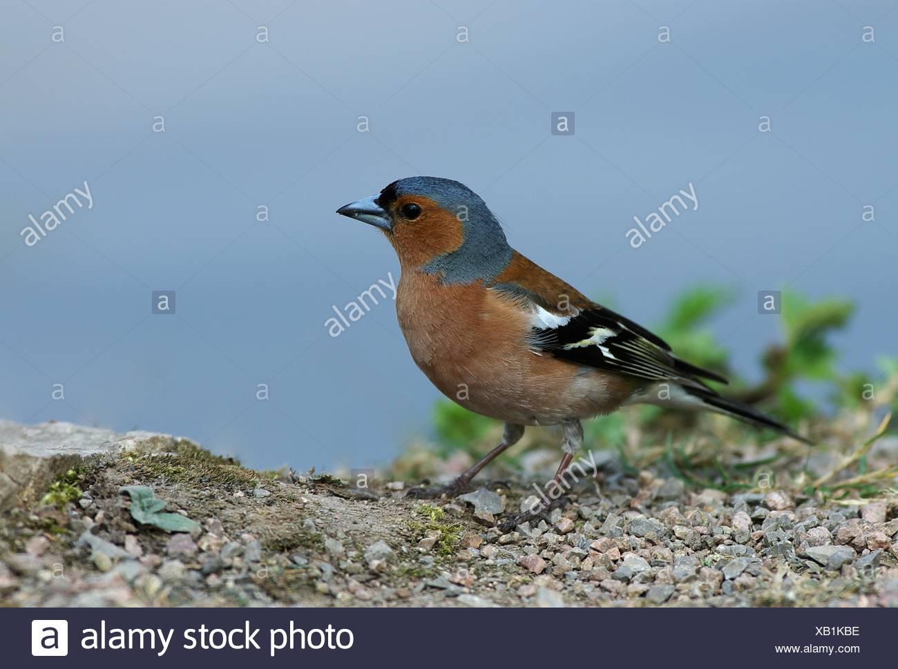 bird birds singing-bird bobolinks chaffinch finch nature blue animal bird brown - Stock Image