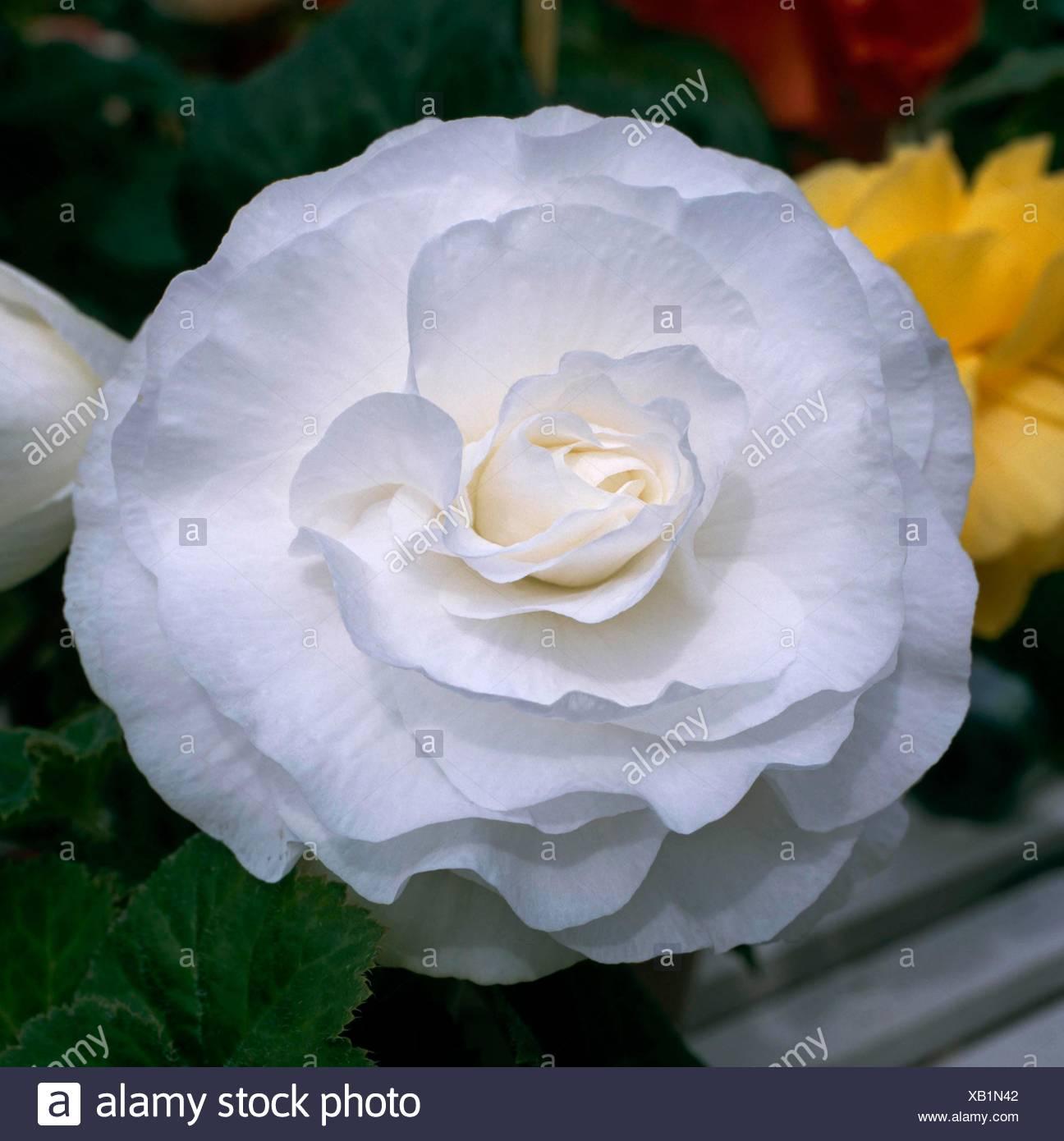 Begonia - Billie Langdon'   HPS083988 - Stock Image