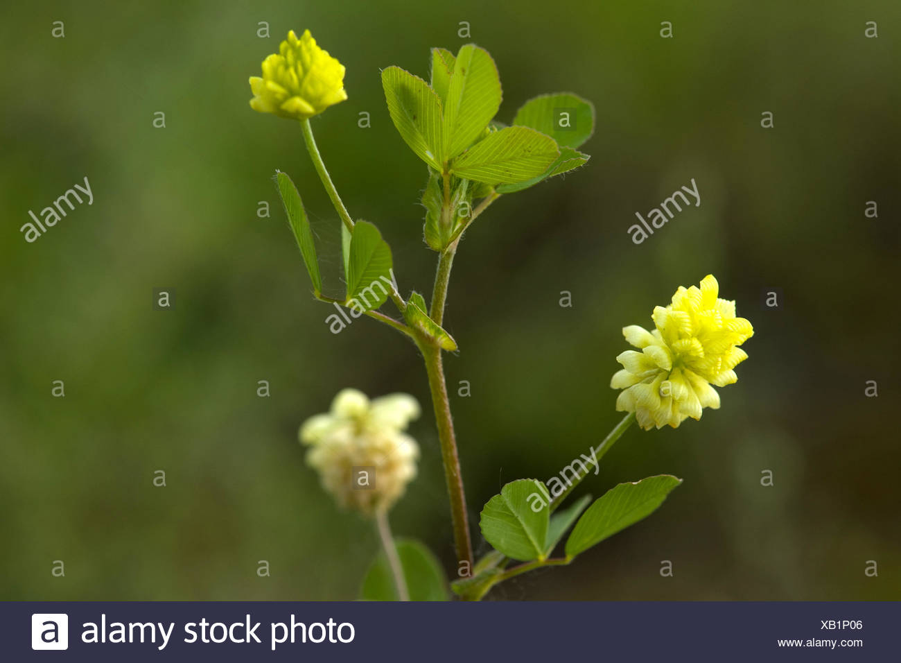 larger hop clover, low hop clover (Trifolium campestre), blooming, Germany - Stock Image