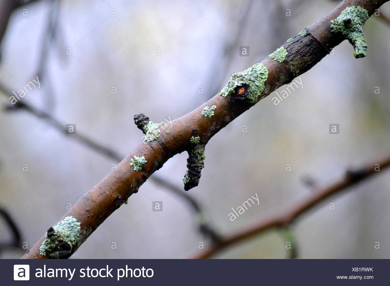 Close Up Of Twig - Stock Image