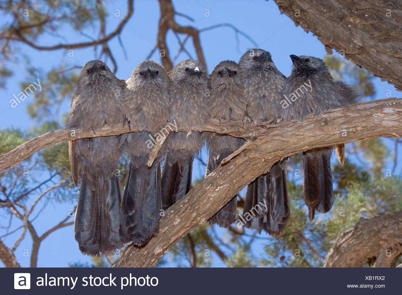 Apostlebird (Struthidea cinerea), six individuals sit tightly pressed together side by side on a tree branch , Australia, New South Wales, Mungo National Park - Stock Image