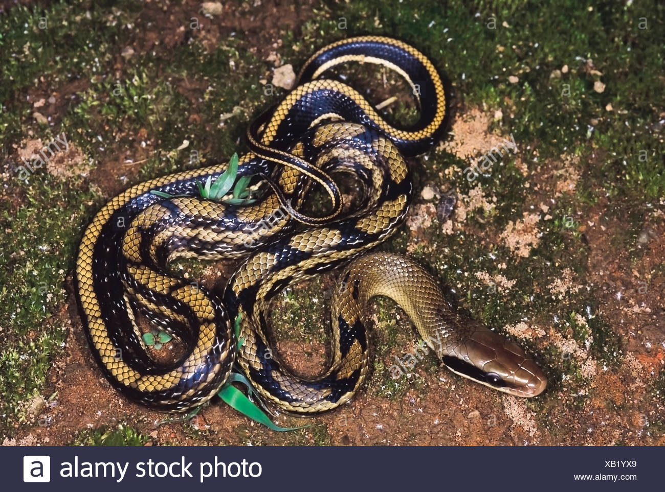 Black Racer Snake Stock Photos & Black Racer Snake Stock Images - Alamy