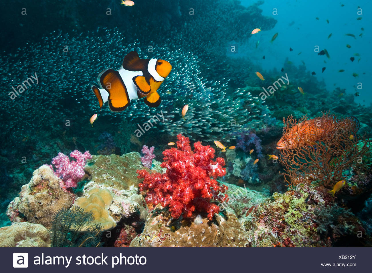 Clown anemonefish and Coral hind over coral reef with soft corals.  Andaman Sea, Thailand. Stock Photo