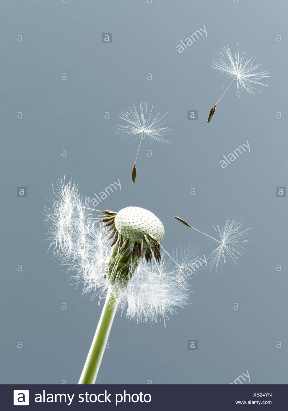 Close up of seeds blowing from dandelion on blue background - Stock Image