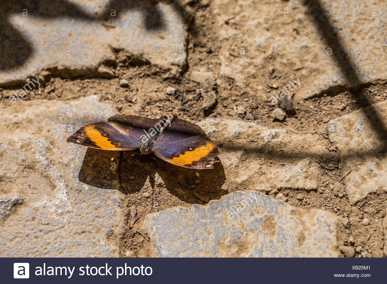 indian leaf butterfly - Stock Image