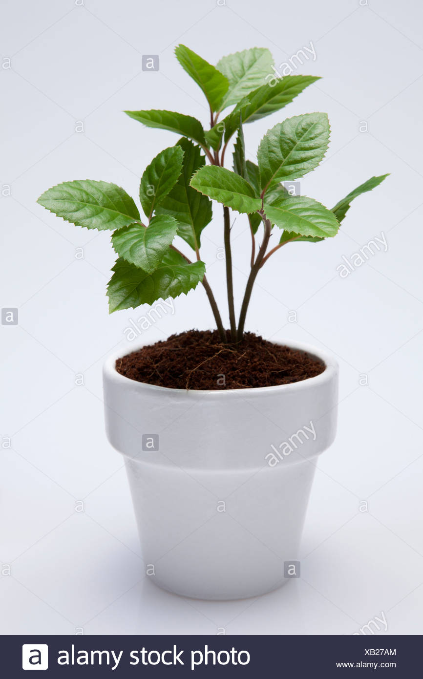White Pot Plant With White Background - Stock Image