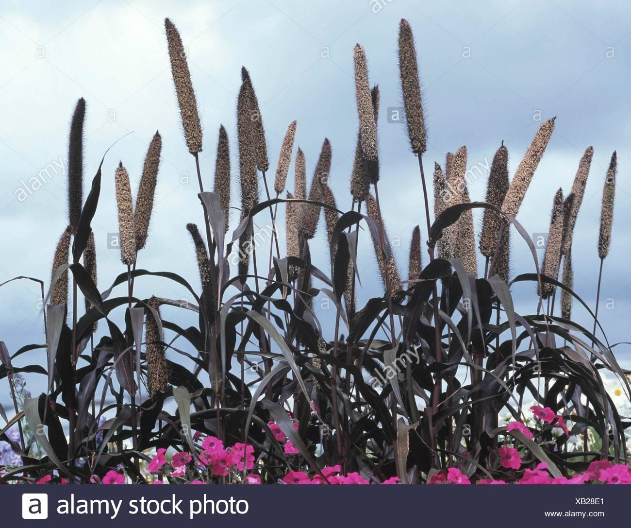 millet Pennisetum glaucum Purple majesty x10 seeds *Buy 2 Get 1 Free* Black