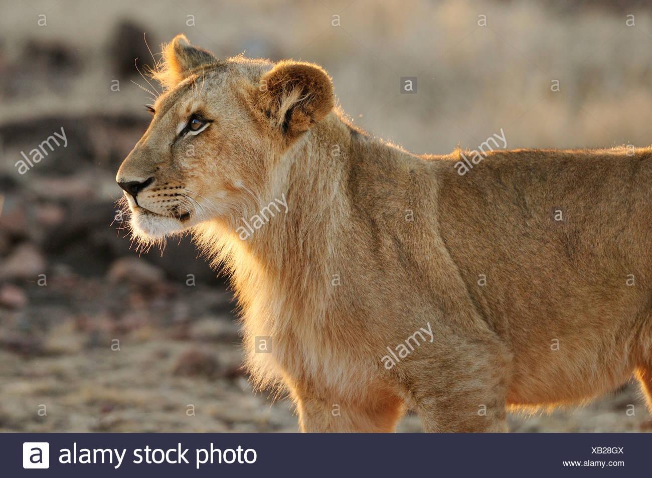 Africa, Zimbabwe, Victoria Falls, Lion, leo, animal - Stock Image