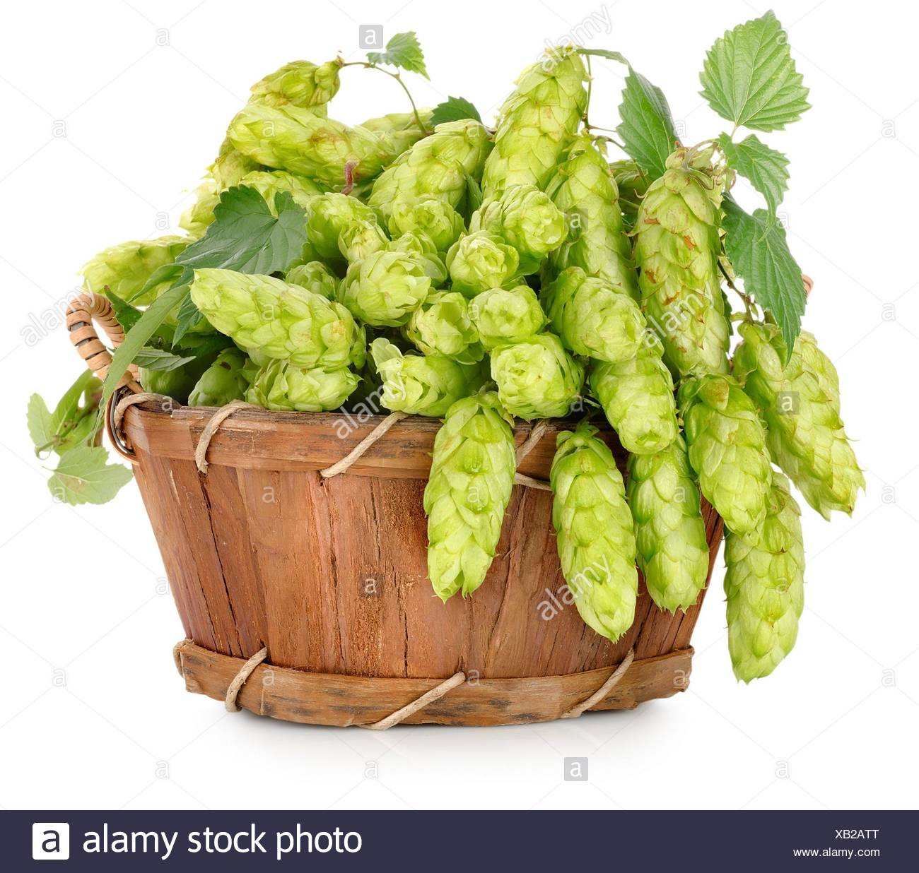 Green hops in a wooden basket isolated on white. - Stock Image